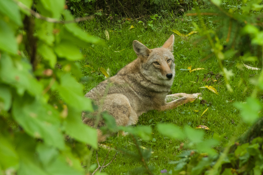 Coyote near Shell Creek, Edmonds, WA