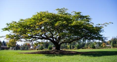 Spectacular Cherry Tree in Hickman Park, Edmonds, WA