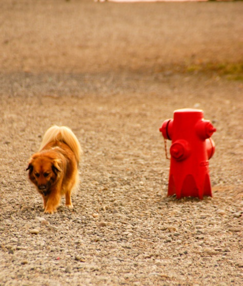 Fire Hydrant, just for dogs, in the Off-Leash Area of Edmonds, WA